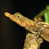Leaf-nosed lizard