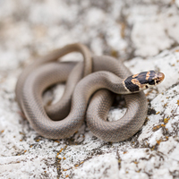 Ring-headed dwarf snake