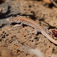 Atlantic lizard
