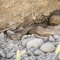 Levant viper and Greek tortoise