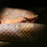 Hognosed pitviper