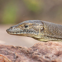 Mertens' water monitor