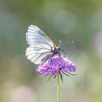 Black-veined whites