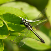 Common clubtail