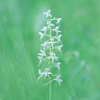 Lesser Butterfly-orchid