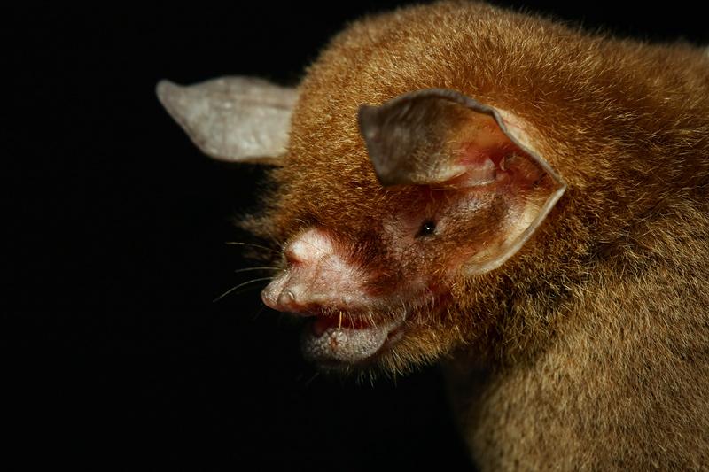 http://www.deepgreenphoto.com/pics/mammals/Pteronotus_parnellii02.jpg