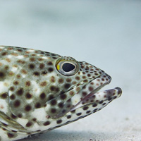Arabian grouper