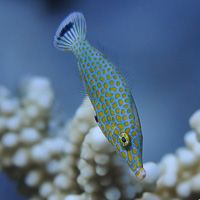 Harlequin-filefish